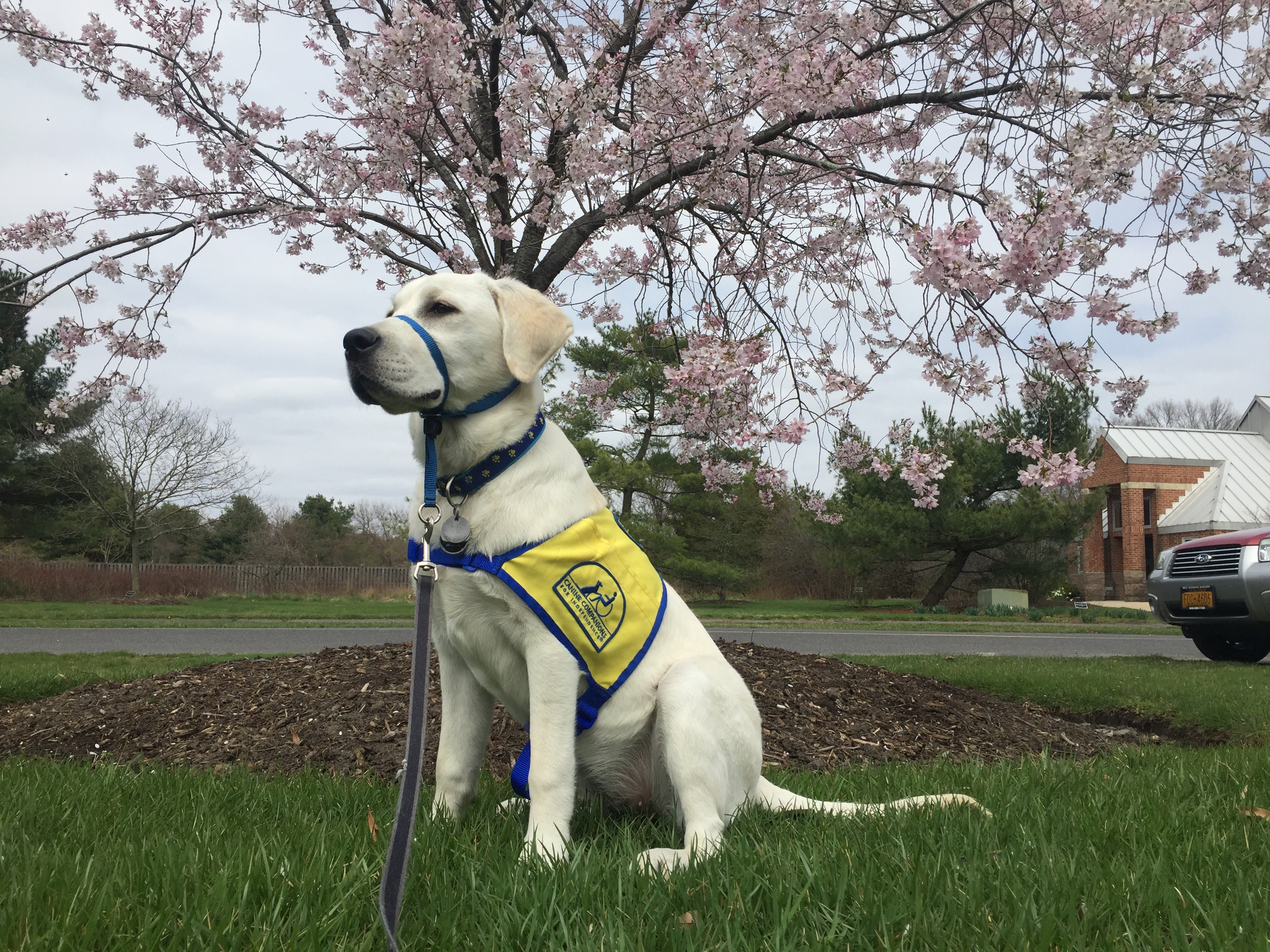 Treat, a golden retriever and yellow lab mix, is one of the puppies being trained in Canine Companions for Independence at Rowan University. -Photo courtesy of Nicole Puzio